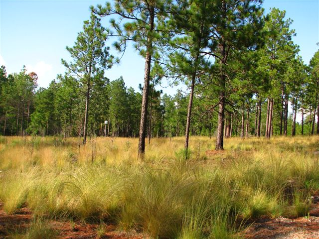 An Ode To Longleaf